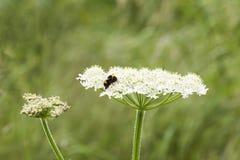 Bi som vilar på den lösa blomman Arkivbilder