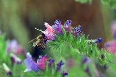 Bi som vilar på en blomma royaltyfria bilder