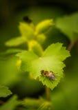 Bi som vilar på ett blad av den lösa gurkan Royaltyfri Foto