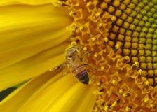 Bi tungt laden med pollen arkivbild