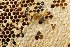 Bi två på honungskakan Royaltyfria Foton