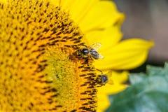 Bi två på solrosen Royaltyfria Foton