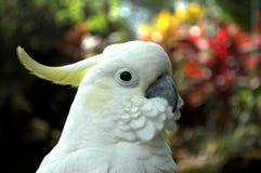 Biała papuga z grzebieniem na głowie zdjęcie royalty free