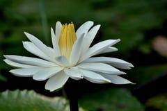 Biała Wodna leluja, Lotus/- Zamyka w górę zdjęcie royalty free