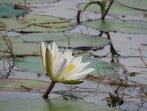 Białe wodne leluje, jezioro z zielonymi liśćmi zdjęcia stock