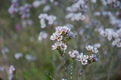 Białego kwiatu pola kwiat zdjęcie royalty free
