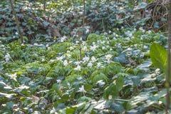 Biały anemon kwitnie kwitnienie w wiosna lesie fotografia royalty free