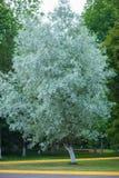 Biały drzewo w lesie, albinosa drzewo obraz royalty free