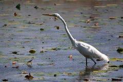Biały Egret Rozciąga Za Swój Długiej szyi zdjęcia stock
