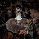 Biały gilled grzyb od Kalifornia obrazy stock