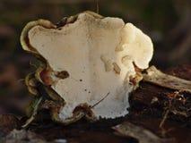 Biały grzyb na podgniłym drzewie fotografia royalty free