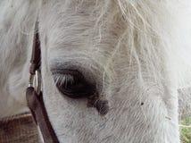 Biały koń, duży oko zdjęcie stock
