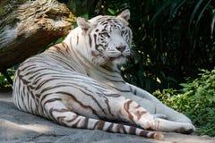 Biały tygrys Sunderbans, niebieskie oczy zdjęcie royalty free