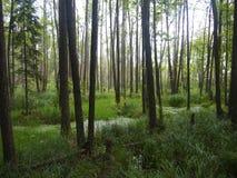 BiaÅ 'owieÅ ¼ park narodowy Białoruś Obrazy Stock