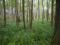 BiaÅ 'owieÅ ¼ park narodowy Białoruś Zdjęcia Royalty Free