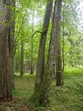 BiaÅ 'owieÅ ¼ park narodowy Białoruś Zdjęcie Stock