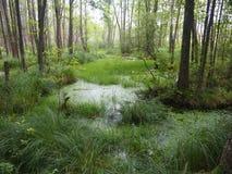 BiaÅ-'owieÅ ¼ ein Nationalpark Weißrussland Stockbild