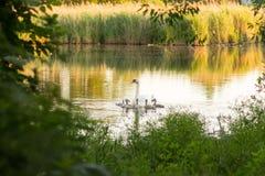 Biała łabędzia rodzina na jeziorze Zdjęcia Royalty Free