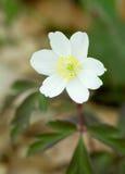 Biała śnieżyczka Galanthus z zielonym liściem Obrazy Royalty Free