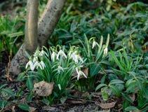 Biała śnieżyczka kwitnie z zielonymi liśćmi fotografia royalty free