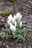 Biała śnieżyczki wiosna kwitnie zbliżenie widok na ziemskim tle zdjęcia stock