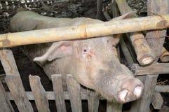 Biała świnia Fotografia Royalty Free