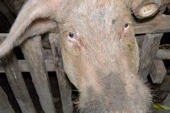 Biała świnia Obraz Royalty Free