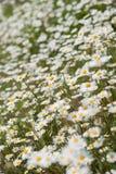 Biała & żółta stokrotka kwitnie w ogródzie lub łące Obrazy Stock