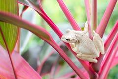 Biała żaba Obraz Stock