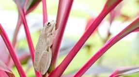 Biała żaba Obrazy Royalty Free