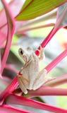 Biała żaba Fotografia Stock