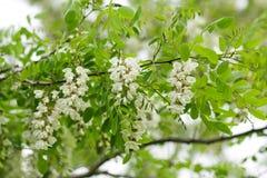 Biała akacja zdjęcie stock