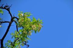 Biała akacja kwitnie na drzewie wśród zielonych liści przeciw niebieskiemu niebu obrazy stock
