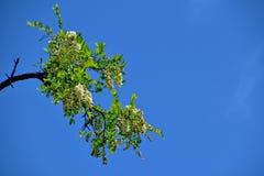 Biała akacja kwitnie na drzewie wśród zielonych liści przeciw niebieskiemu niebu zdjęcie stock