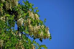 Biała akacja kwitnie na drzewie wśród zielonych liści przeciw niebieskiemu niebu obraz stock
