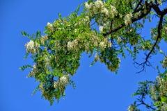 Biała akacja kwitnie na drzewie wśród zielonych liści przeciw niebieskiemu niebu zdjęcia stock