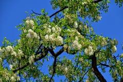 Biała akacja kwitnie na drzewie wśród zielonych liści przeciw niebieskiemu niebu obraz royalty free