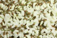 Biała akacja kwitnie tło obraz stock