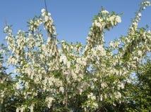 Biała akacja na niebie zdjęcia stock