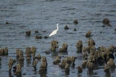 Biała bąk pozycja na skale w wodzie obraz stock