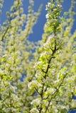 Biała bonkreta kwitnie na gałąź z niebieskim niebem Obrazy Royalty Free