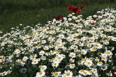 Biała chamomile kwiatu łąki wiosna fotografia royalty free