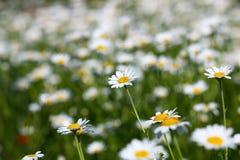 Biała chamomile kwiatu łąki wiosna zdjęcie royalty free