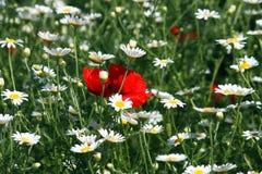 Biała chamomile kwiatu wiosna obraz royalty free