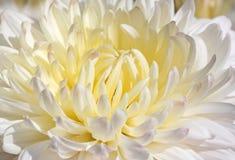 Biała chryzantema Zdjęcie Stock