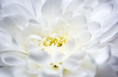 Biała chryzantema makro- Obrazy Stock