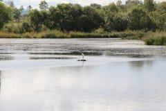 Biała czapla po środku jeziora/ Zdjęcia Stock