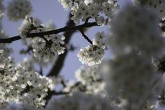 Biała czereśniowego okwitnięcia gałąź z małą głębią ostrość zdjęcie stock