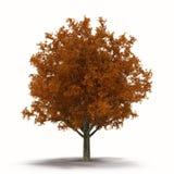 Biała Dębowego drzewa jesień na Białym tle Zdjęcia Stock