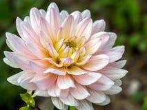 Biała dalia kwiatu głowa obraz royalty free